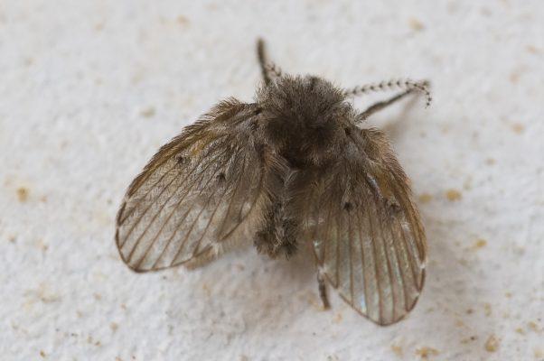Cách diệt ruồi cống hiệu quả