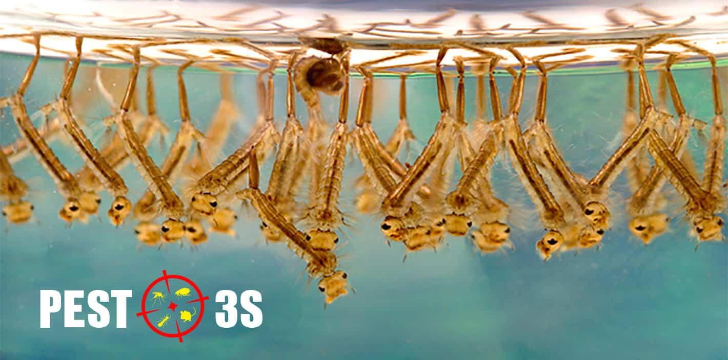 Ấu trùng muỗi - Bọ gậy - Lăng quăng